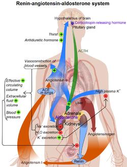 Ренин-ангиотензин альдостероновая система