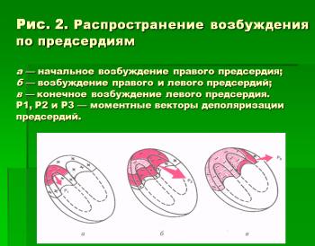 ЭКГ. Строение сердца. Проводящая система сердца. Распространение возбуждения по предсердиям