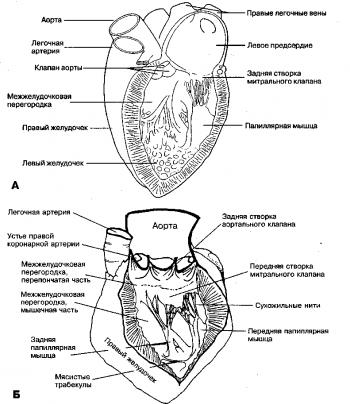 Рис. 3. Левое предсердие (ЛП) и левый желудочек (ЛЖ), входные и выходные отделы. Б. Внутреннее строение полости ЛЖ.