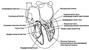 Рис. 4. Основные компоненты проводящей системы сердца включают синоатриальный узел, атриовентрикулярный узел, пучок Гиса, правую и левую ножки пучка Гиса и волокна Пуркинье. В модераторном пучке проходит значительная часть правой ножки пучка Гиса.