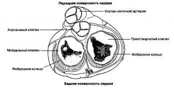 Рис. 1. Четыре сердечных клапана; вид сверху через удаленные предсердия.
