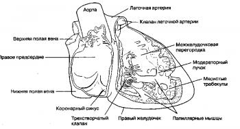 Рис. 2. Внутреннее строение правого предсердия и правого желудочка.