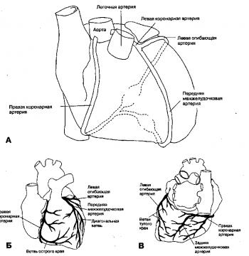 Анатомия и внутреннее строение