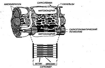 Вверху. Схематическое представление ультраструктуры клетки миокарда