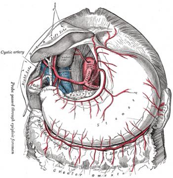 Анатомия желудка человека. Схема кровеносной системы желудка
