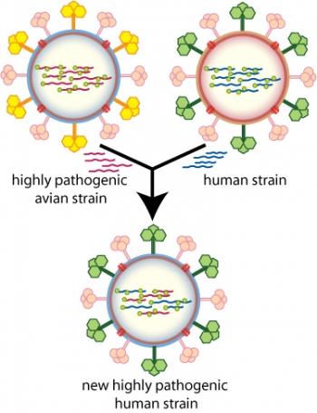 Рекомбинации штаммов вируса могут привести к новым и высокопатогенным штаммам человеческого гриппа